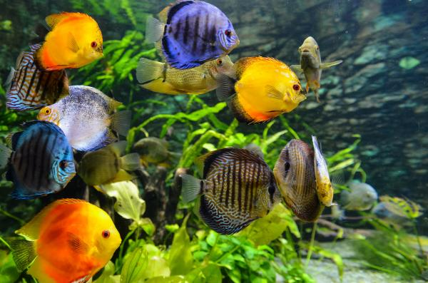aquarium full of different colored discus fish